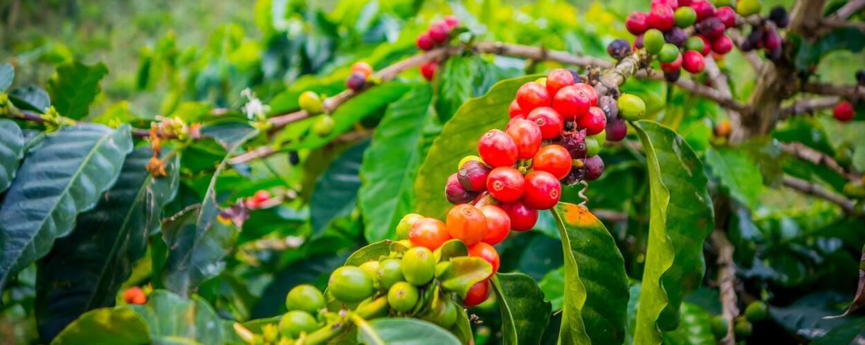 Kaffeebaum (Coffea spec.)