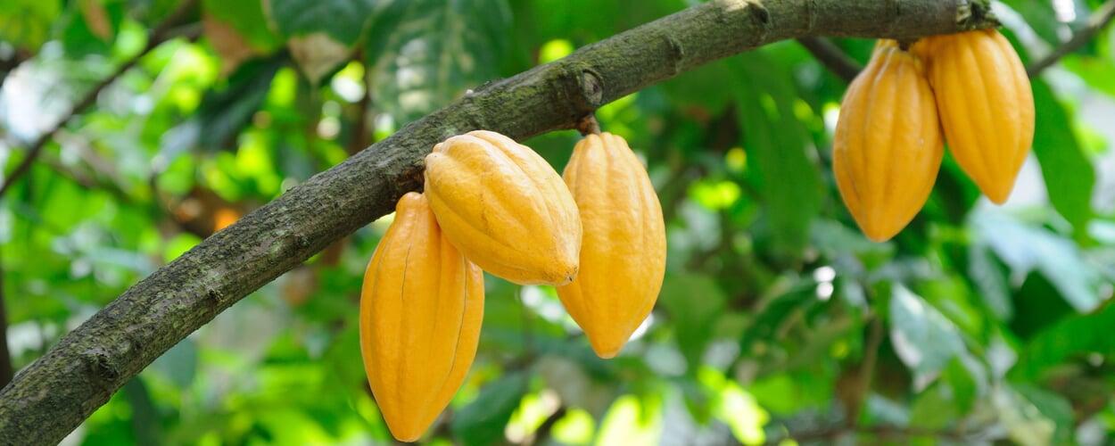 Kakaobaum (Theobroma cacao)