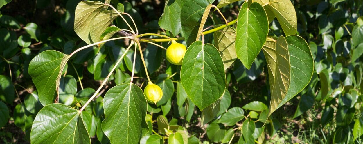 Karitébaum (Butyrospermum parkii)