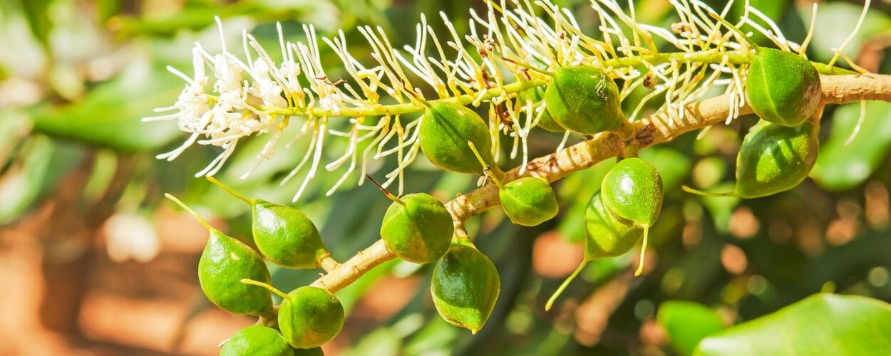 Macadamia (Macadamia spec.)
