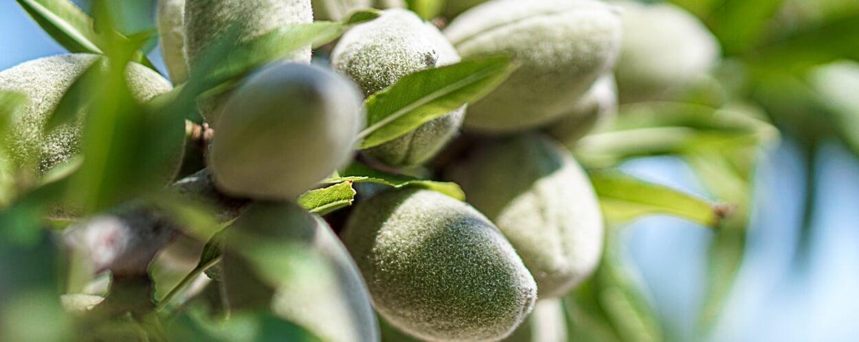 Mandelbaum (Prunus dulcis)
