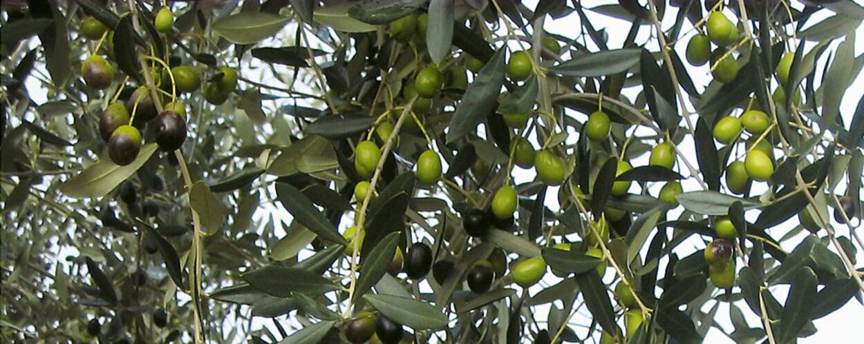 Olivenbaum, Ölbaum (Olea europaeus)