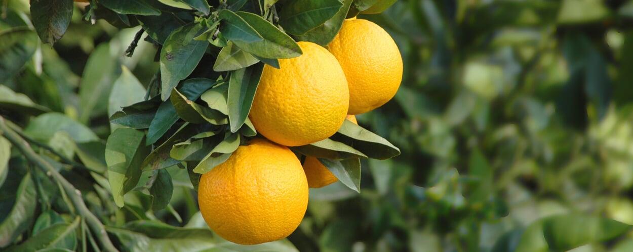 Orangenbaum (Citrus sinensis)