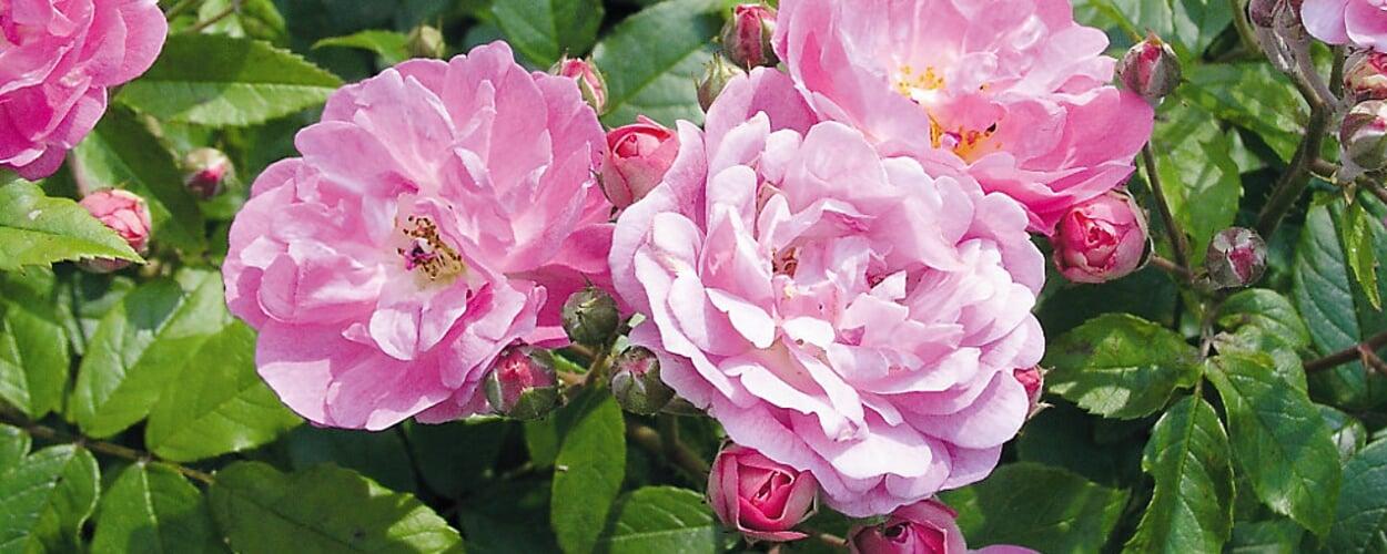 Rose (Rosa spec.)