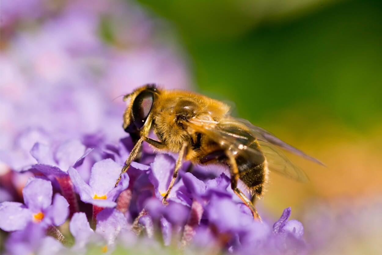 Bienenfreundliches Gehölz