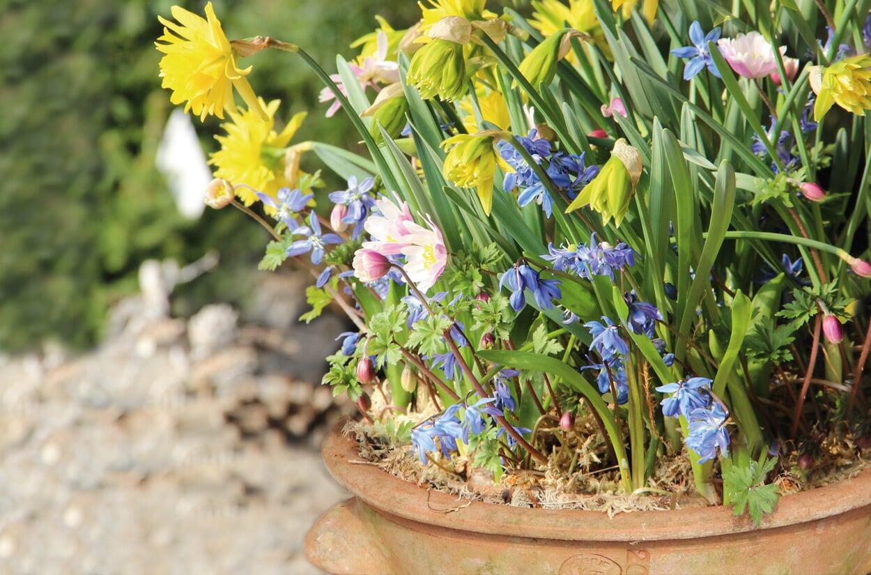 Blumenzwiebeln für Töpfe