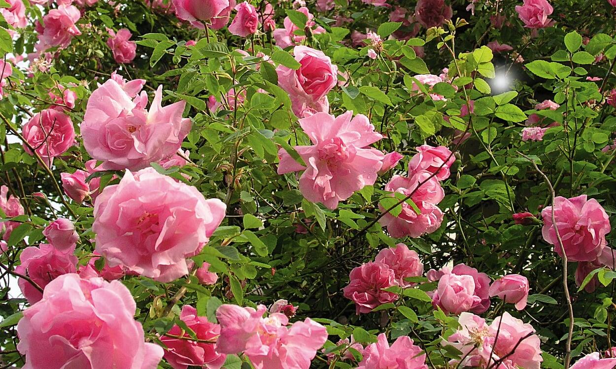 Alte Rosensorten
