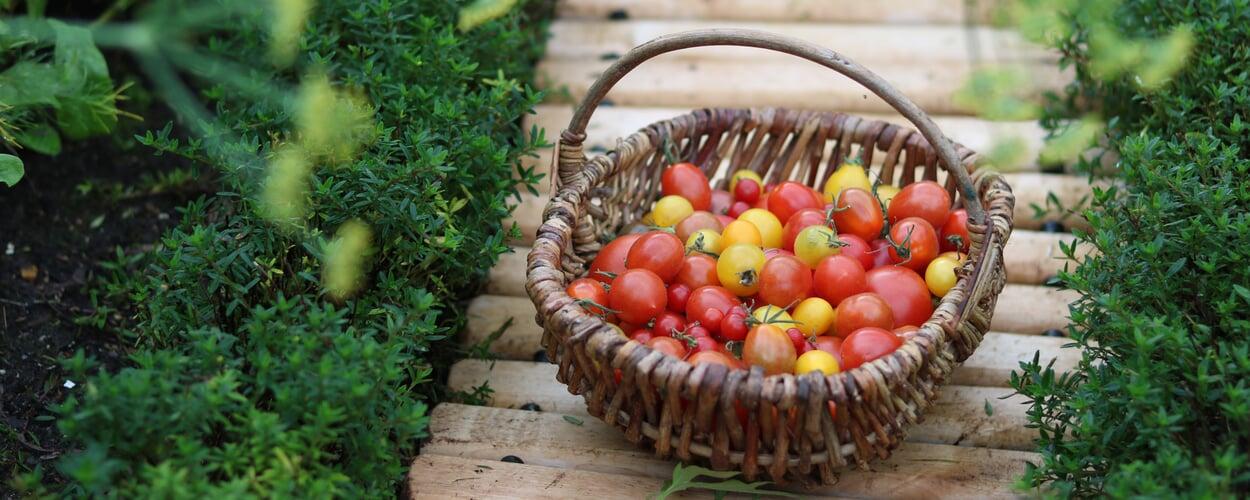 Rund um die Tomate