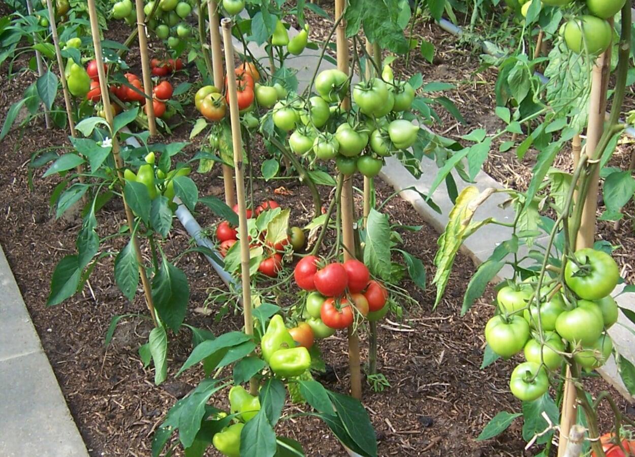 Rankstäbe für Tomatenpflanzen