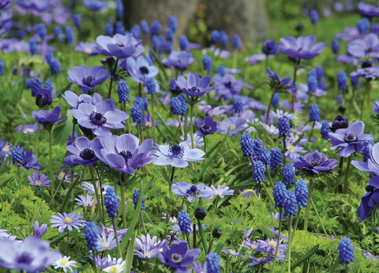 Blaue Blumenzwiebelmischung