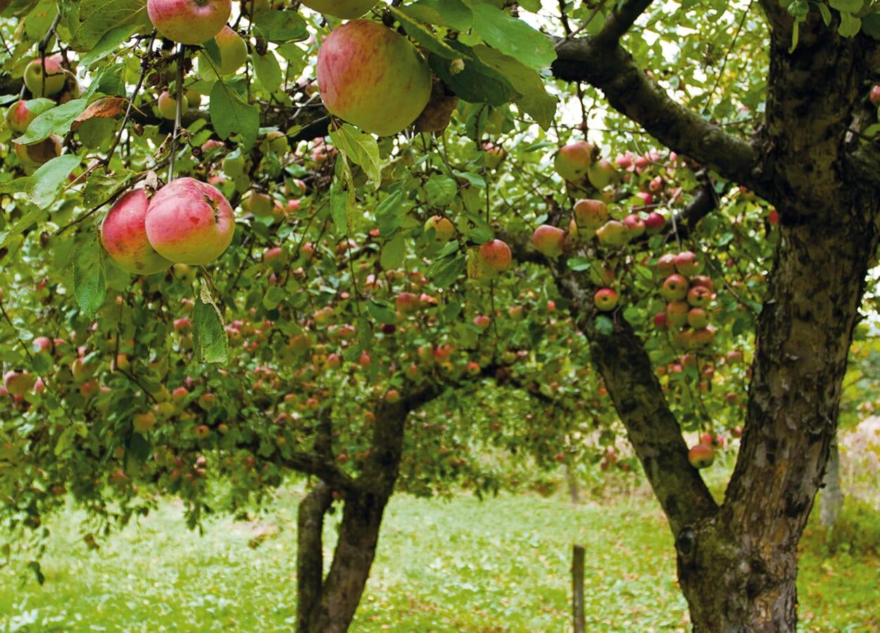 Obst- und Wildobstgehölze