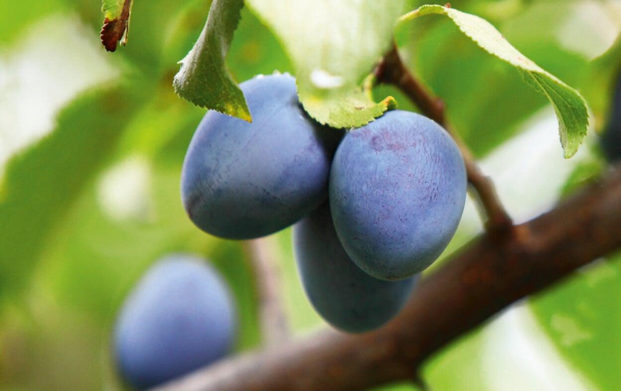Alte Obstgehölze