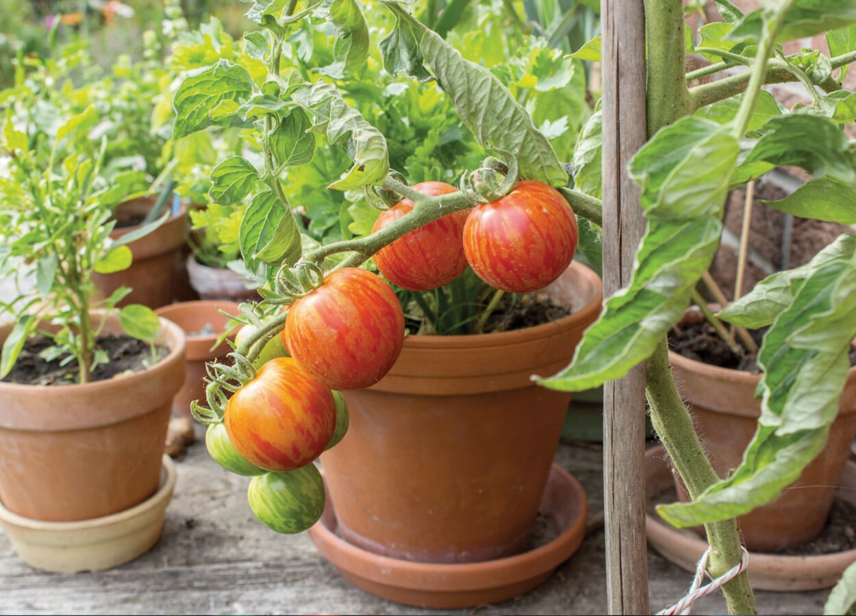 Ansprüche der Tomatenpflanzen
