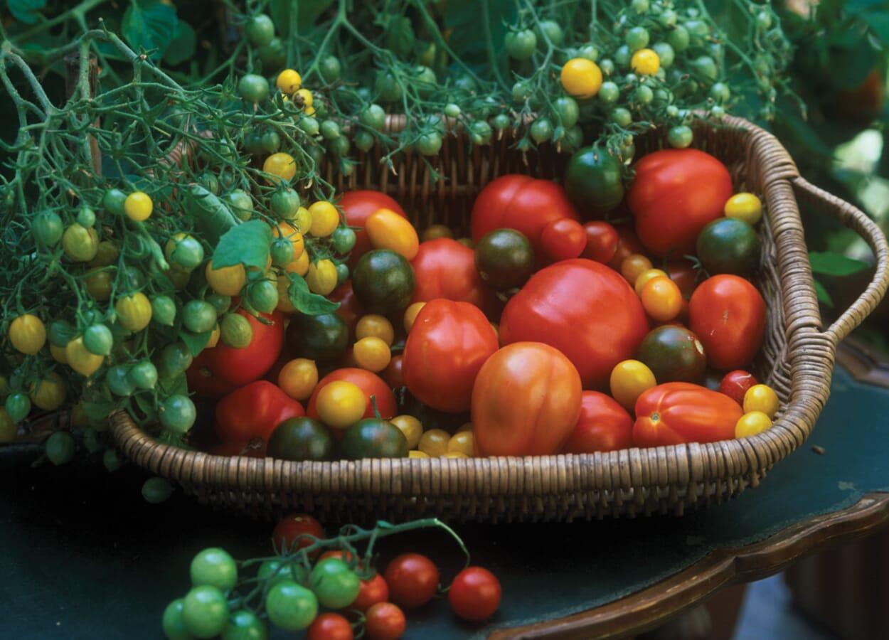 Tomaten ernten und den Bestand pflegen