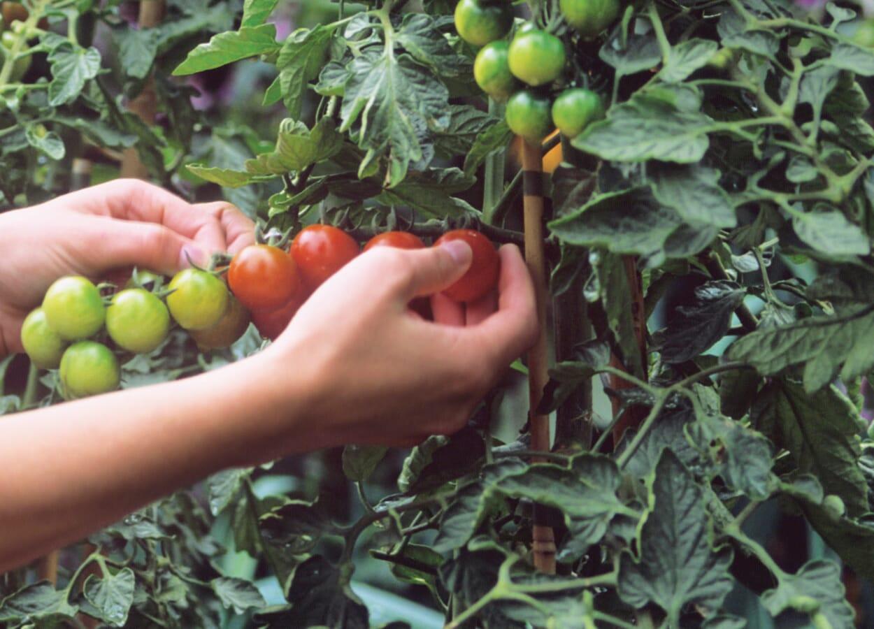 Tomaten ausgeizen und pflegen