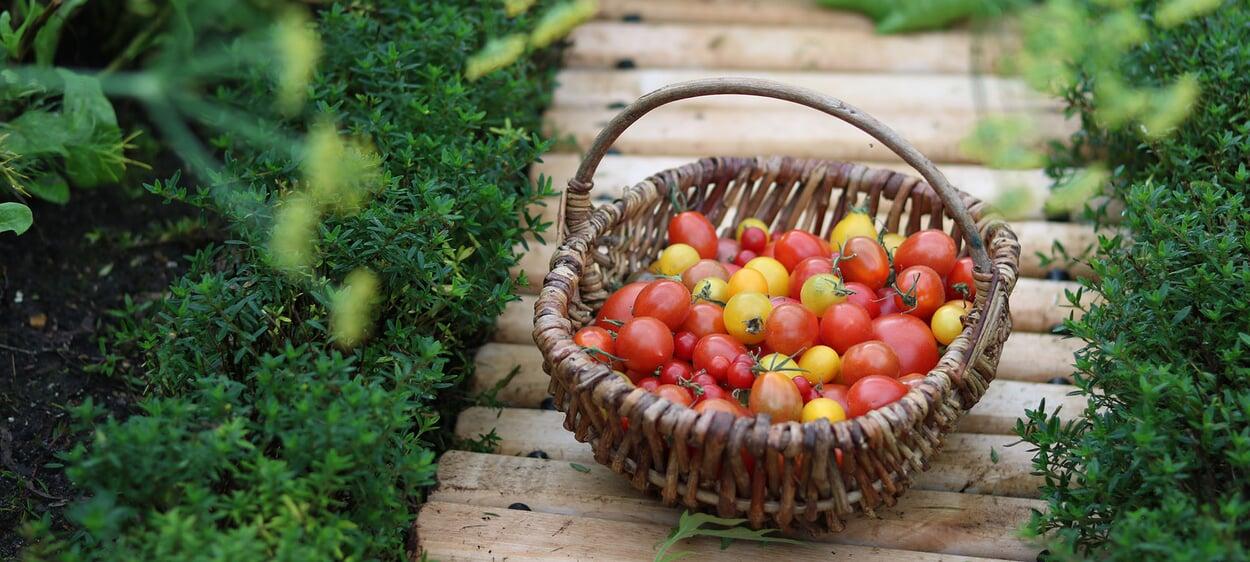 Tomaten aus dem eigenen Garten