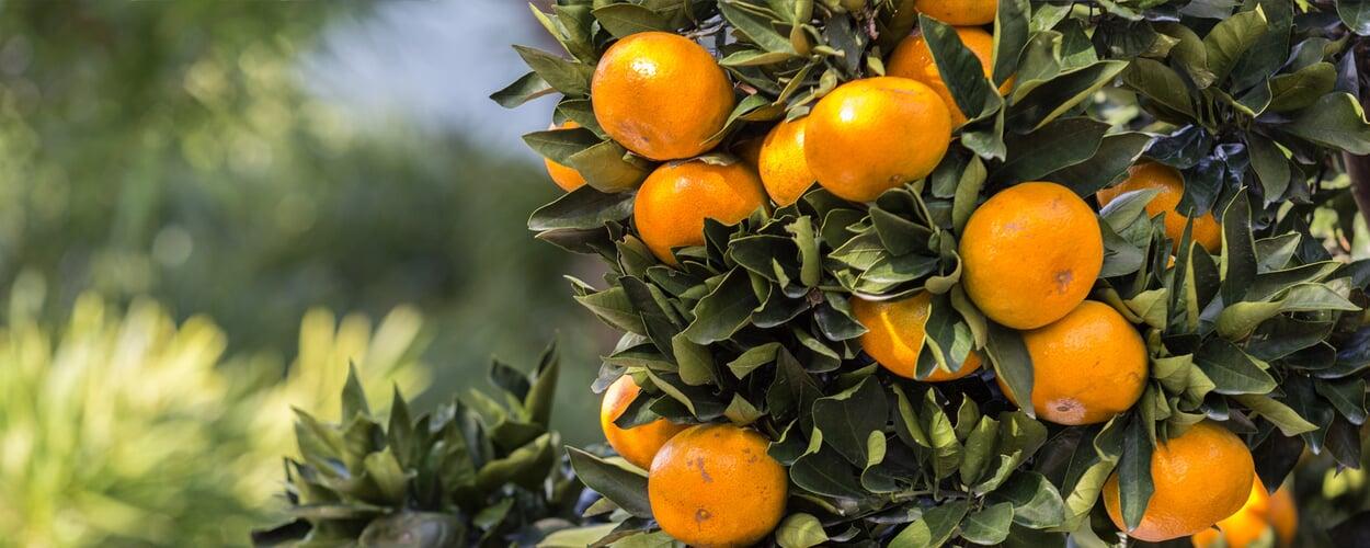 Marmeladen und Konfitüren aus Zitrusfrüchten