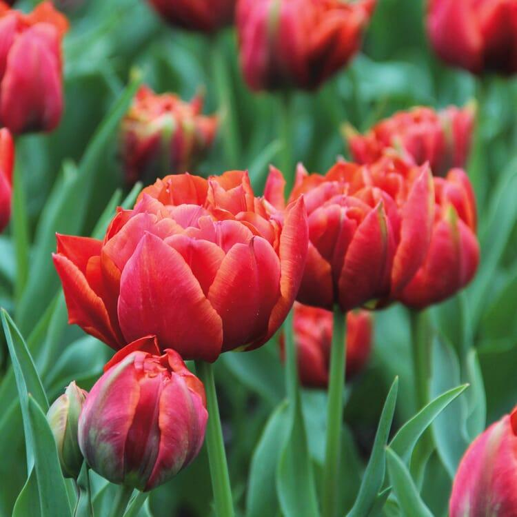 Blumenzwiebeln Tulpe 'René Menard'