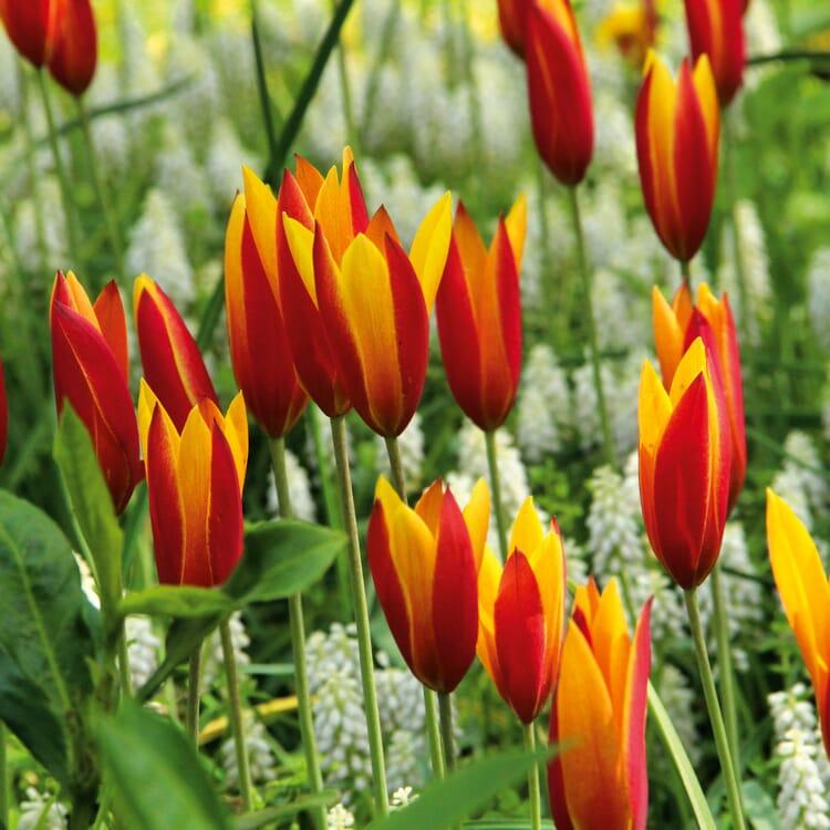 Blumenzwiebeln Persische Tulpe 'Tubergens Gem'
