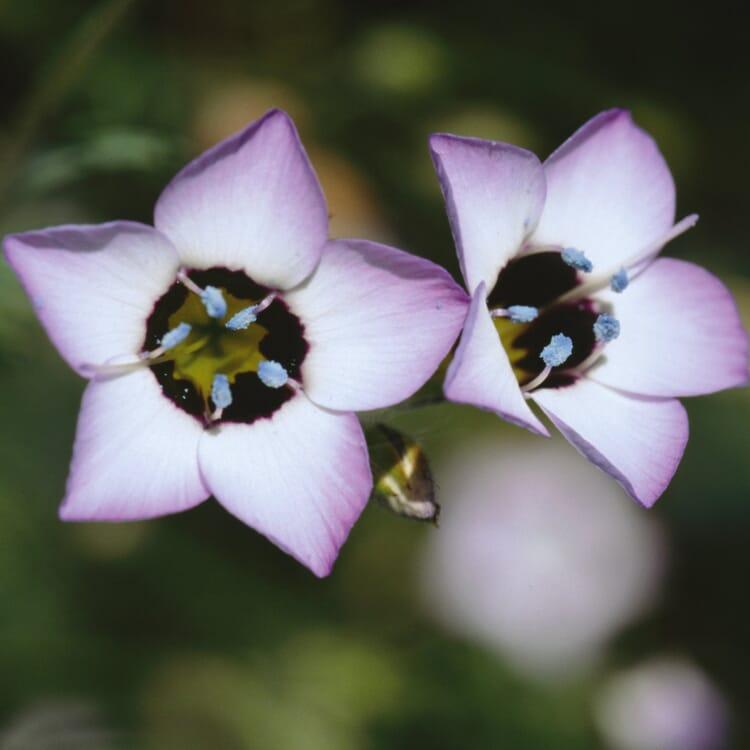 Blumensamen 'Seltene einjährige Blumen'