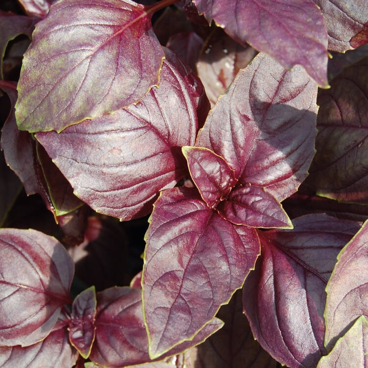 Gemüsesamen 'Besondere Basilikum '