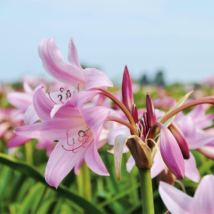 Blumenzwiebeln Hakenlilie