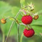 Erdbeerpaket 'Balkon-Erdbeeren'