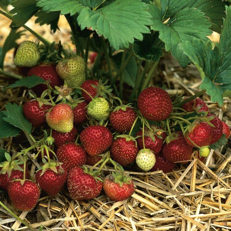 Erdbeer-Probierpaket No. 2