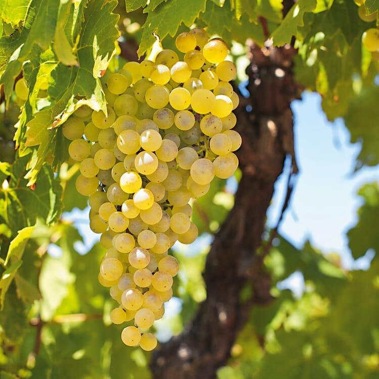 Obstgehölz Weinrebe 'Primus'