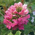 Eichenblättrige Hortensie 'Ruby Slipper'