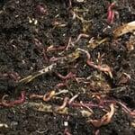 Kompostwürmer Für Wurmkiste