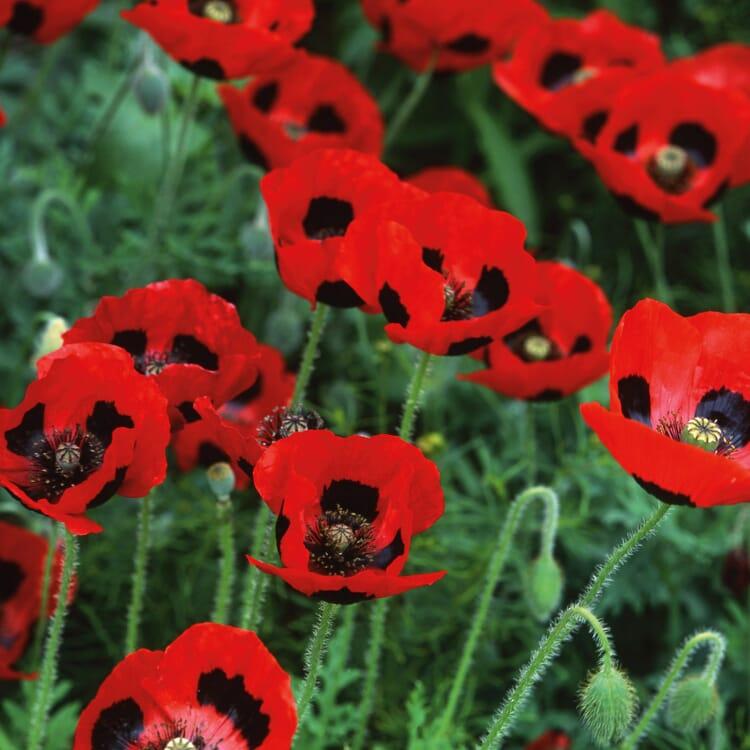Blumensamen 'Besondere Mohngewächse'