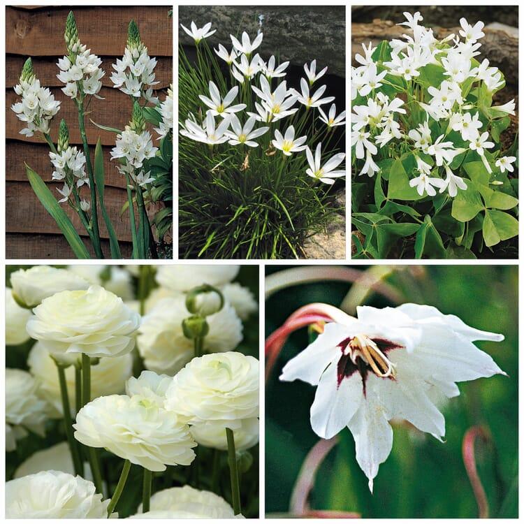 Blumenzwiebeln Weißblühende Blumenzwiebeln