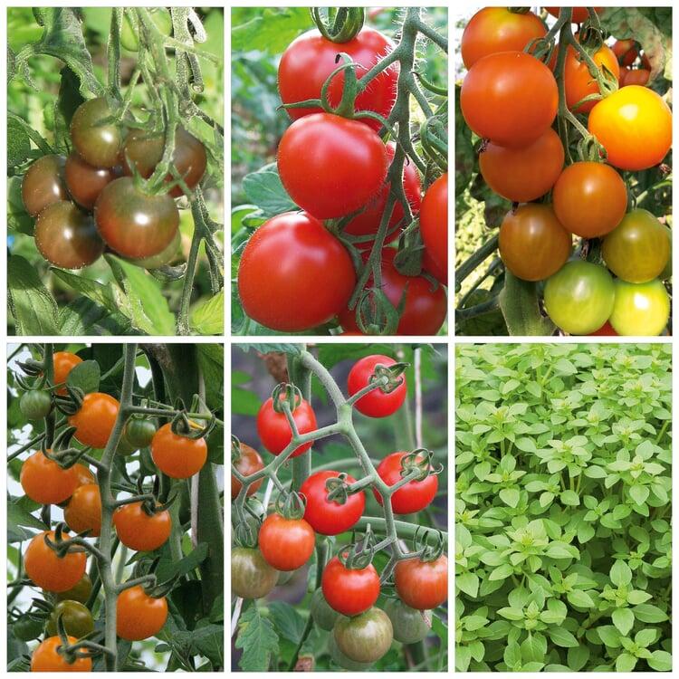 Tomaten und Basilikum für den Balkon