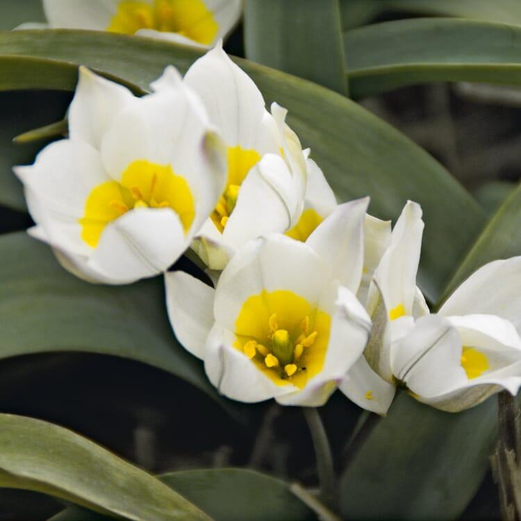Blumenzwiebeln Weiße Zwergtulpe