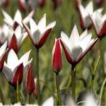 Blumenzwiebeln Persische Tulpe
