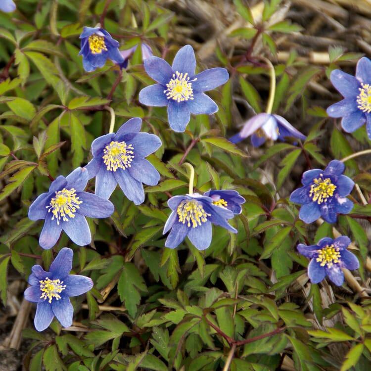 Blumenzwiebeln Buschwindröschen 'Royal Blue'