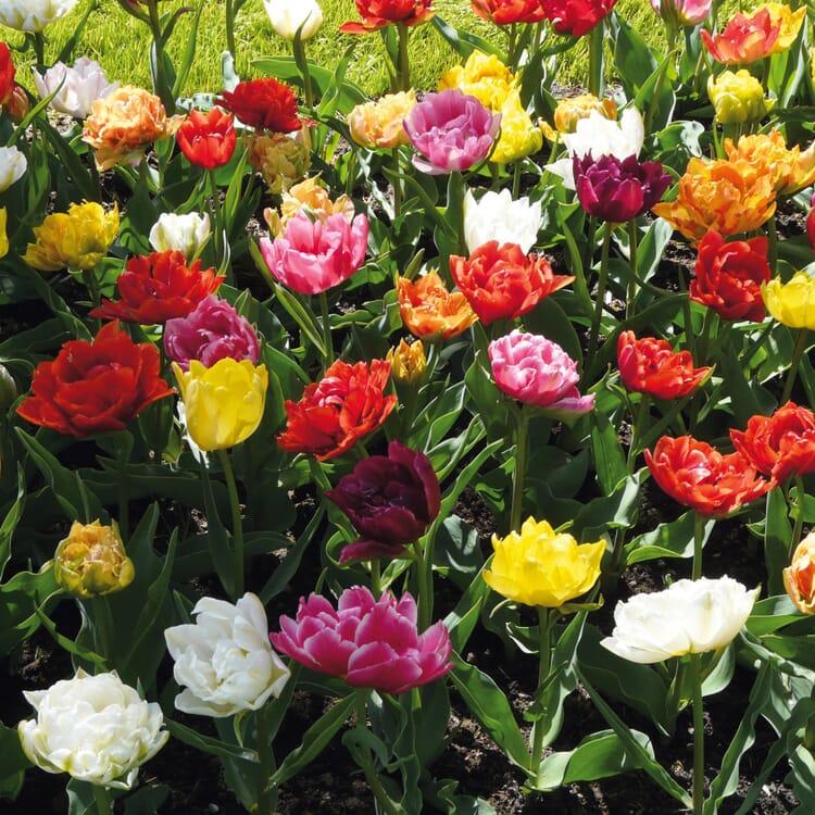 Blumenzwiebeln Murillo-Tulpen Mischung