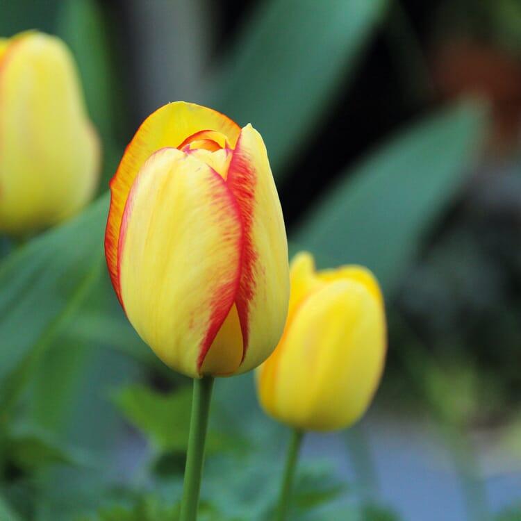 Blumenzwiebeln Tulpe 'Kleurenpracht'