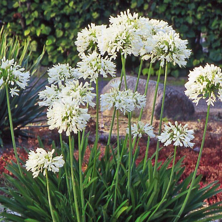 Weiße winterharte Schmucklilie