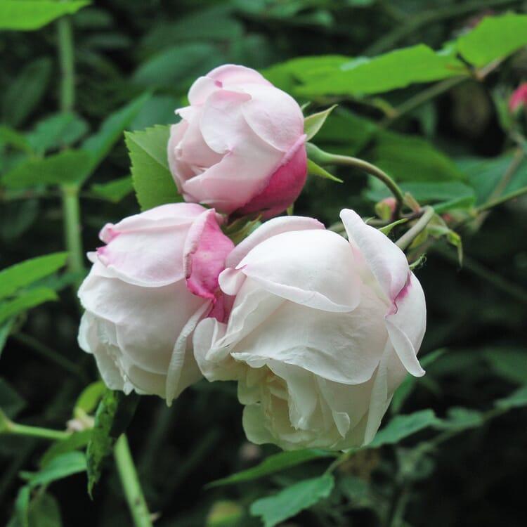 Ramblerrose 'Ayrshire Queen'