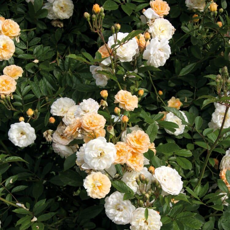 Ramblerrose 'Ghislaine de Féligonde'
