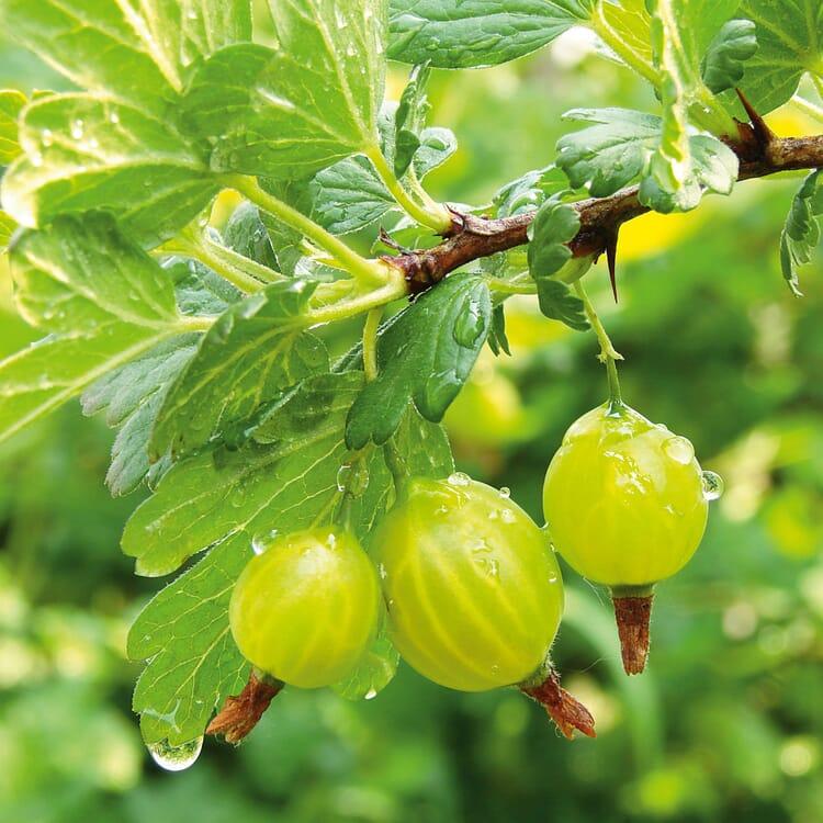 Obstgehölz Säulenstachelbeere 'Mucurines'