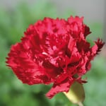 Blumensamen 'Historische Nelken'