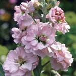 Blumensamen 'Ausgewählte Levkojen'
