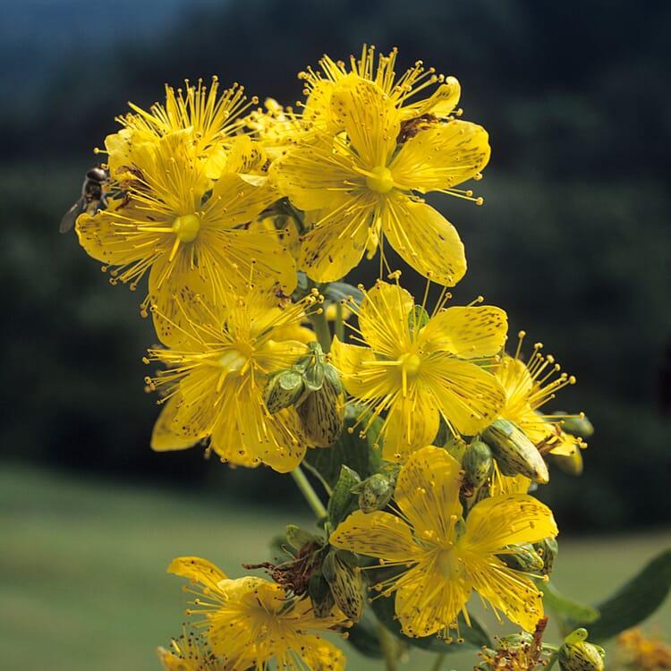 Blumensamen 'Heilpflanzen für die Hausapotheke'
