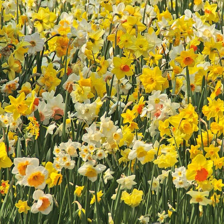Blumenzwiebeln Schneeglanz-Mischung