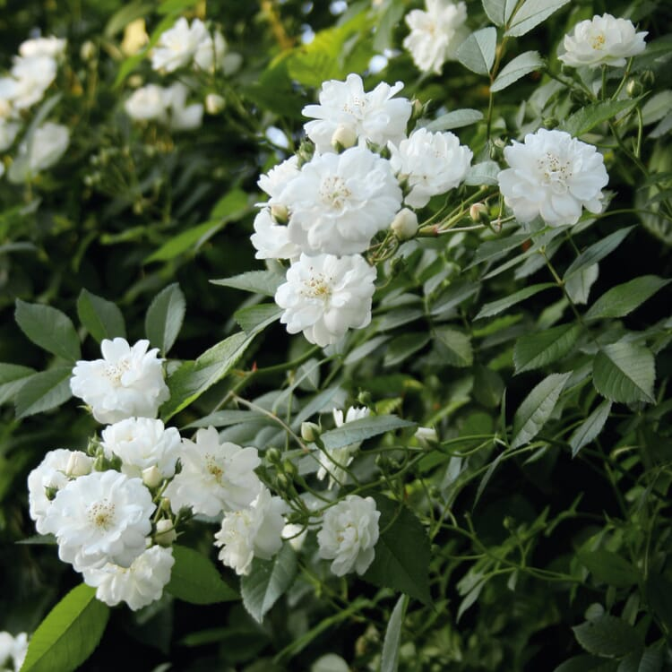 Ramblerrose 'Guirlande d`Amour®'