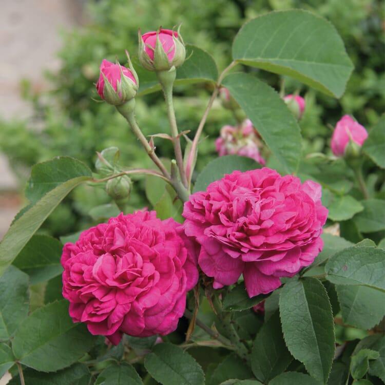 Damaszenerrose 'Rose de Resht'