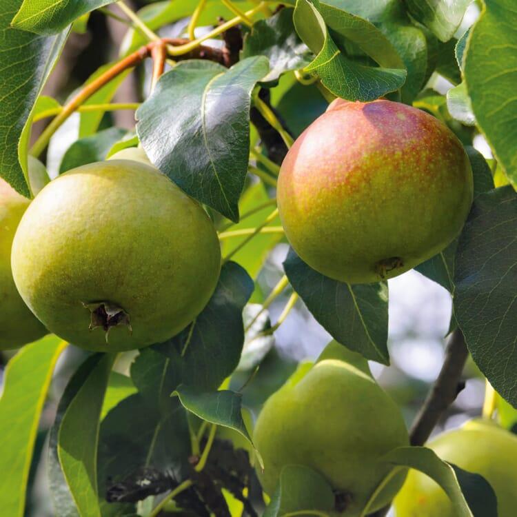 Obstgehölz 'Zuckerbirne von Montluçon'